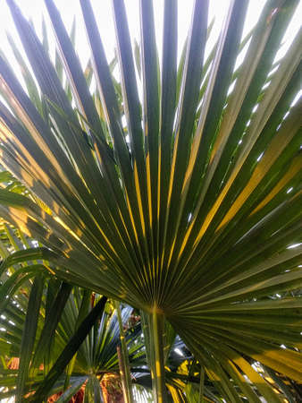 A closeup of the leaves of a plant called Dwarf Palmetto