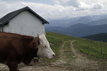A cow wearing a bell with mountains in the distance