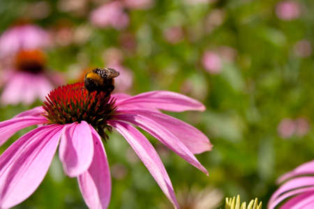 A closeup shot of purple coneflower with a bee on the center in a blurry background Stock Photo