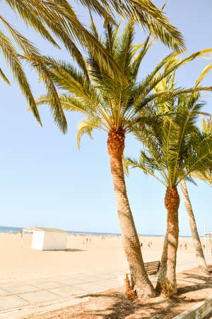 A vertical shot of palm trees in the beach of canary islands in spain with a clear blue sky in the background