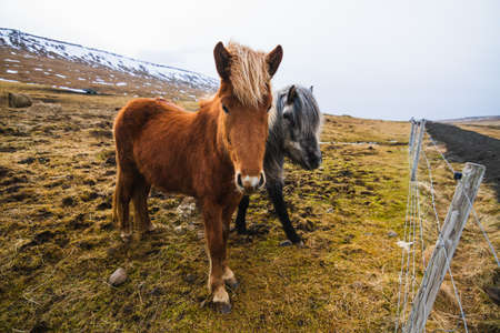 Two Icelandic horses in a field covered in the grass and snow under a cloudy sky in Iceland
