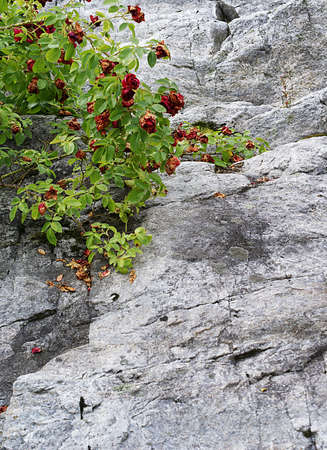 A vertical high angle closeup shot of a bush of wild roses growing on the rock