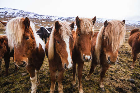 A closeup of Icelandic horses in a field covered in snow and grass under a cloudy sky in Iceland 免版税图像