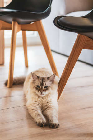A vertical high angle shot of a cute cat lying under the chairs on the wooden floor 写真素材