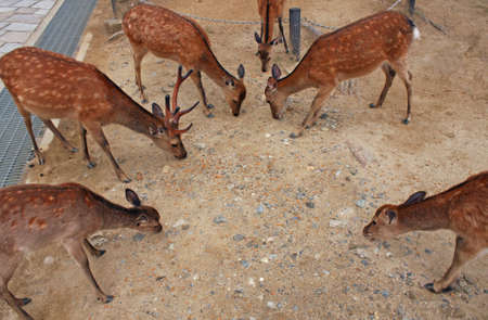A high angle shot of several brown deer eating food