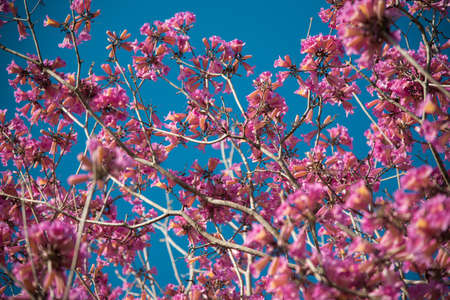A low angle shot of a beautiful cherry blossom with a clear blue sky in the background 写真素材