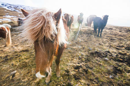 An Icelandic horse walking through the field with horses on the blurry background in Iceland 免版税图像