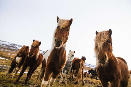 A low angle view of Shetland Ponies in a field covered in the grass and snow in Iceland