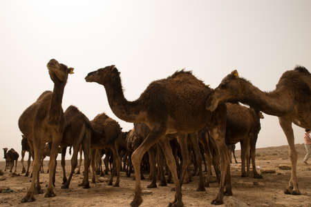 A low angle closeup shot of a herd of camels standing on the sandy ground 写真素材