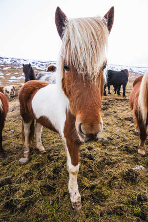 A closeup of a Shetland Pony in a field covered in the grass and snow under a cloudy sky in Iceland