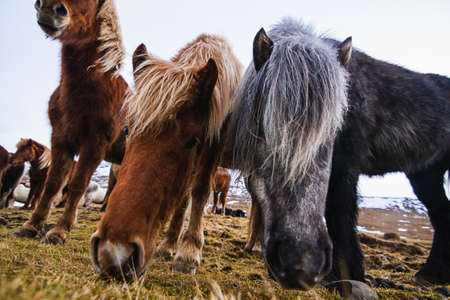 A closeup of Shetland ponies in a field covered in the grass and snow under a cloudy sky in Iceland