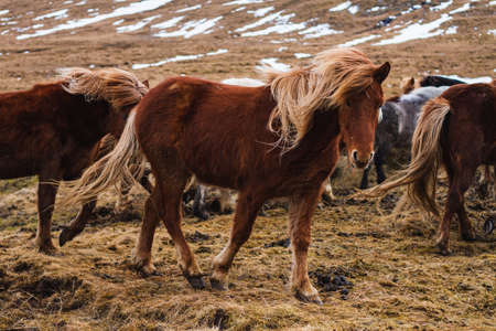 A picture of Icelandic horses running through the field covered in the grass and snow in Iceland 免版税图像