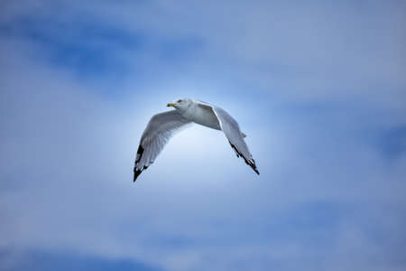 A low angle shot of a white European herring gull flying under a bright sky - freedom concept