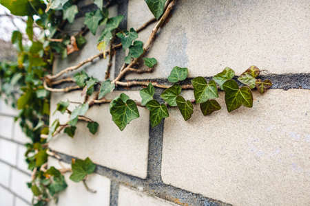 A wall with ivy leaf decorations under the sunlight with a blurry background