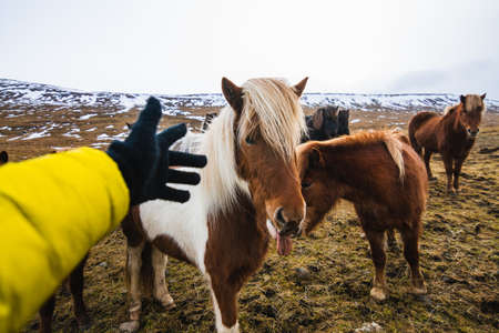 A hand trying to touch a Shetland Pony in a field covered in the grass and snow in Iceland 免版税图像