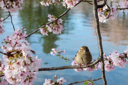 A cute house sparrow perched on a tree branch with beautiful cherry blossom flowers