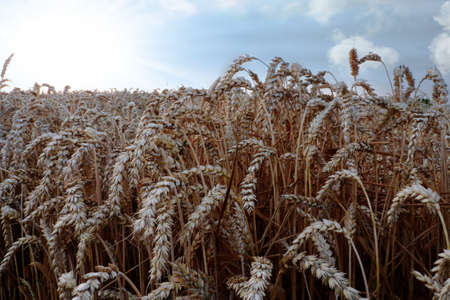 A beautiful shot of wheat spike in the field during daytime Фото со стока
