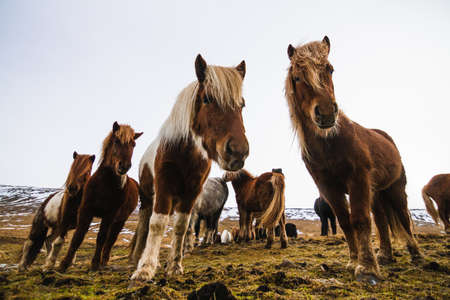 A low angle view of Icelandic horses in a field covered in the snow and grass in Iceland