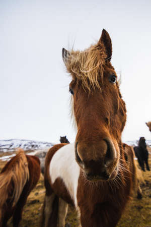 A closeup of an Icelandic horse in a field covered in the grass and snow in Iceland