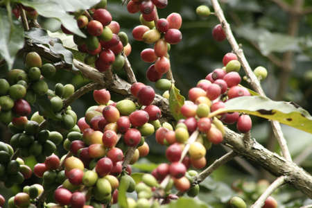 A closeup shot of red and green coffee beans on a blurred background