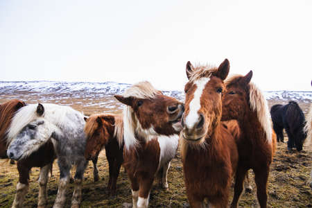 A closeup of Icelandic horses in a field covered in the snow and grass in Iceland
