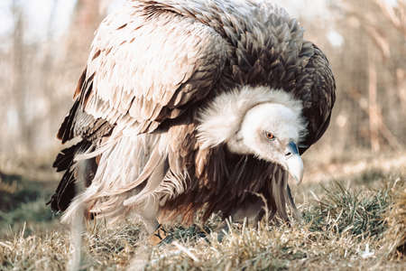 A closeup shot of a vulture in a crouched  position in a zoo