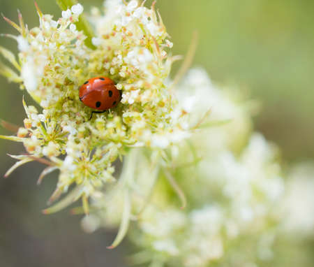 A soft focus shot of a ladybird beetle on white flowers