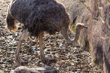An closeup shot of an ostrich exploring around its pen in a zoo