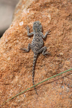 exotic gecko warming up on a sunny day in iSimangaliso Wetland Park and Sainte-Lucie, South Africa Reklamní fotografie
