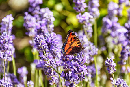 A small tortoiseshell butterfly sitting on blossoming lavender flowers 写真素材