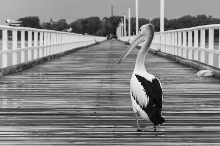 A grayscale shot of a pelican walking on a wooden pathway 版權商用圖片