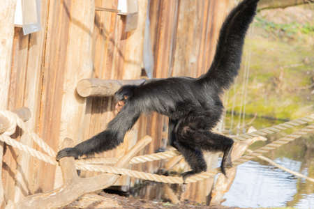 A closeup shot of a spider monkey swinging from a network of ropes and logs in a zoo 版權商用圖片