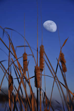 A vertical shot of the full moon rising over the cattails near the lake Stock Photo
