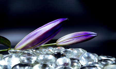 A closeup shot of two purple stargazer lily buds laid on glass pebbles