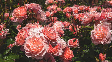 A closeup of pink Garden roses surrounded by greenery under the sunlight with a blurry background