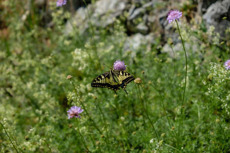 A yellow and black butterfly sitting on a purple flower in the field