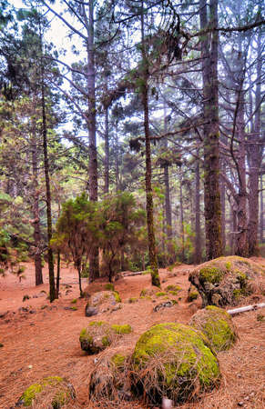 A vertical shot of a beautiful forest with tall trees in in Canary islands, Spain 免版税图像