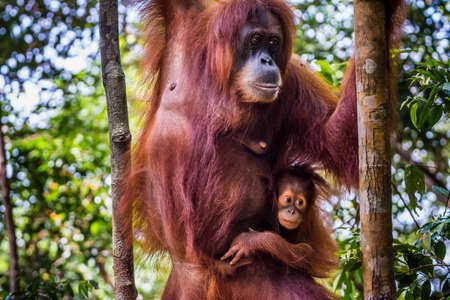 A baby orangutan hanging from its mother