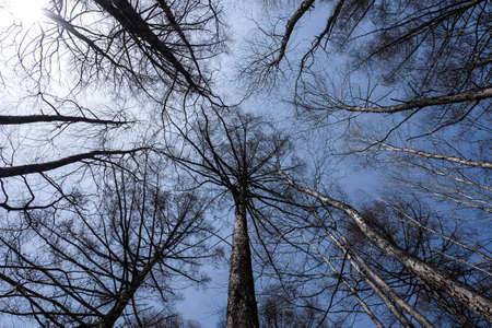 A worm's eye view of tall bare pine trees against a blue sky