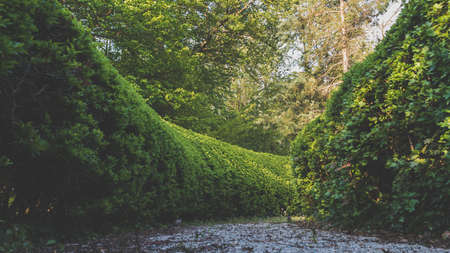 A long shot of a pathway between manicured hedges in a garden maze