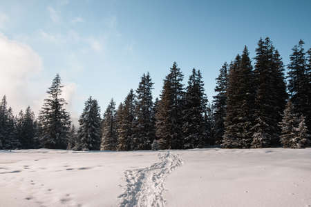 The footsteps on snow leading to the spruce forest in winter