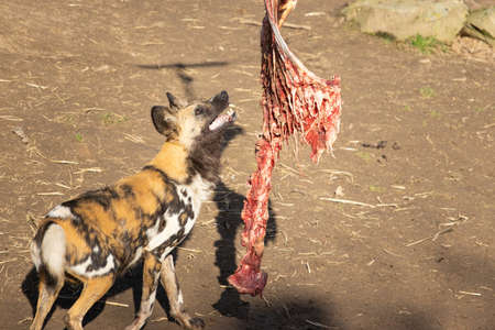 A closeup shot of feeding fresh meat to an African Wild Dog in a zoo