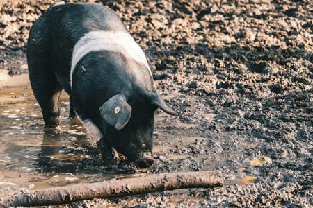 A high angle shot of a farm pig with a visible ear tag foraging for food on a muddy ground  near a log