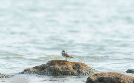 A beautiful shot of a sandpiper bird on the rock in the ocean in India
