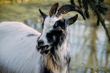 A closeup of a black and white goat chewing on spruce leaves beside a pond