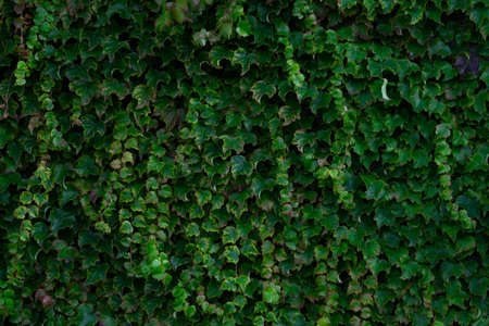 A high angle view of an ivy garden under the sunlight - great for backgrounds and wallpapers Banque d'images