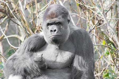 A closeup shot of an alert gorilla sitting up with tall grasses on the background