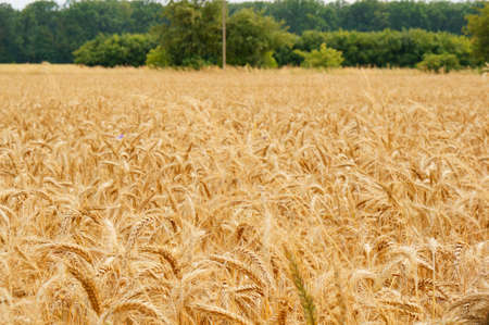 A vast wheat field with harvest during daytime