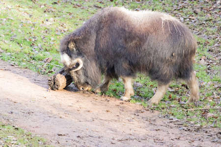 a close up shot of a muskox charging on a log on a muddy surface 스톡 콘텐츠