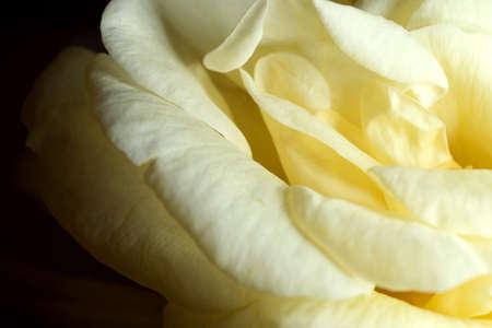 A closeup shot of a beautiful yellow rose